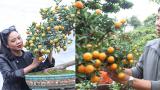 Nam Trực-Nam Định: Tinh hoa Quất Việt