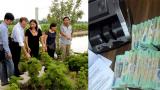 Hải Hậu: trồng cây đinh lăng thu hàng trăm triệu, bí quyết nhờ đâu?