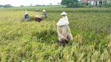 Nam Định: Tích tụ ruộng đất