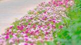 """Dân mạng """"mê mệt"""" con đường hoa khoe sắc rực rỡ đẹp như tiên cảnh ở làng quê Nam Định"""