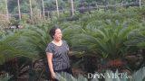 Nam Định: Trồng 700 cây vạn tuế, góa phụ đếm lá thu tiền