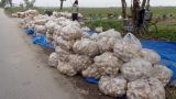 Nam Định: Nông dân điêu đứng vì khoai tây chỉ 3.000 đồng/kg