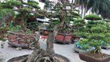 Nam Trực: Nguyệt quế song thân giá hàng chục cây vàng