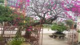 """Cây hoa giấy cổ thụ dáng """"lão mai"""" có một không hai ở Nam Định"""