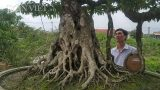 Giới chơi cây lại sốt sình sịch với siêu cây 100 tuổi, tiền tỷ