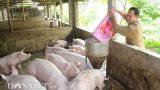 """Giá heo hơi hôm nay 5/7: Lập """"đỉnh"""" mới 53.000 đ/kg, nhà nông hối hả lắp điều hòa cho lợn"""