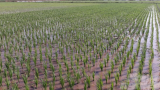 NAM ĐỊNH – Cảnh giác bệnh lùn sọc đen hại lúa mùa