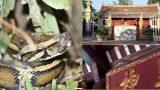 Trăn về 'ngự' tại ngôi đền ở Nam Định, mặc khua chiêng gõ trống vẫn 'mắc võng nằm chầu'