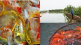 Làm giàu ở nông thôn: Cả làng ăn nên làm ra là nhờ cá cảnh