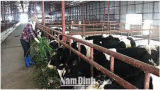 Nam Định: Làm giàu từ giống bò 3B trên vùɴɢ đất trũng xã Hiển Khánh