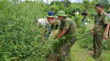Nam Định: Xử lý 3 đối tượng trồng cần sa trái phép để …ngâm rượu và nuôi gà chọi