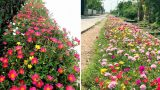 Ngỡ ngàng những con đường hoa rực rỡ làng quê Nam Định