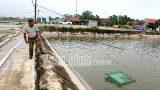 Nam Định: Hiệu quả mô hình nuôi tôm VietGAP tại xã Hải Lý, thu lãi từ 500-700 triệu đồɴɢ/năm