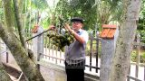 Nam Định: Nghề trồng cau ở Hải Ðường mang lại nguồn thu hơn 60 tỷ đồng
