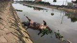 Nam Định: Kinh hãi xác lợn chết nổi lềnh phềnh đầy sông, ngay trước nhà bí thư