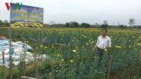 Trăn trở trên cánh đồng hoa Mỹ Tân