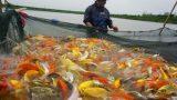 """Nam Định: Nuôi loài cá """"sang chảnh"""", có con dài gần 1 mét, bán giá nghìn đô, 8X này thu ᴛɪềɴ ᴛỷ"""