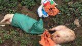 Bất ngờ với số lượng lợn chết do dịch lở mồm long móng ở Nam Định