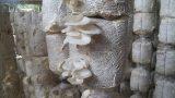 Hải Hậu: Kiếm hàng trăm triệu nhờ loại nấm dễ trồng