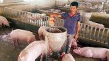 Làm giàu ở nông thôn: Nuôi lợn cho ăn hoa quả, nhân sâm