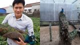 Nam Định: Nuôi chim công cho nhà giàu chơi Tết, kiếm bộn tiền