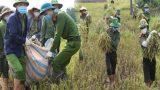 Ấm lòng mùa dịch: Công an lội ruộng gặt lúa giúp các trường hợp F1, F2 đang cách ly