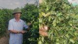 Nam Định: Trồng cây dây muôi trị tiểu đường, 1 sào lãi gần 20 triệu
