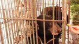 Cứu hộ ba cá thể gấu ngựa tại Nam Định trong dịch Covid-19